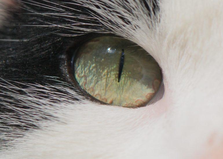 Zwart-witte kat met groene ogen