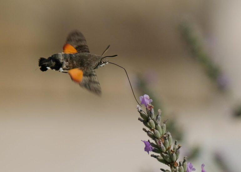 Kolibrievlinder op lavendel